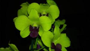 Dendrobium Emma Anna Green