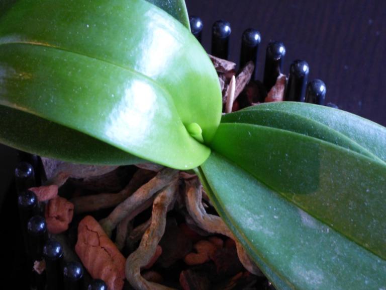 Grüne Orchideen-Blätter