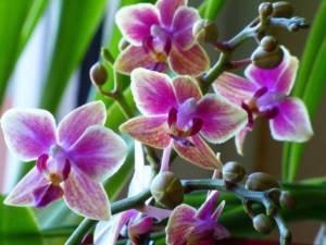 Phalaenopsis Multihybride mini