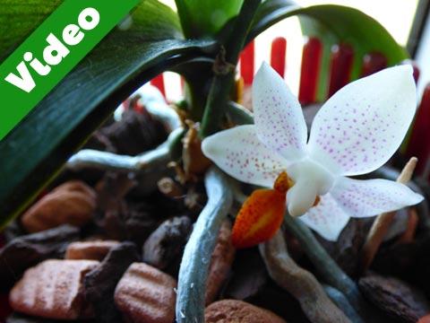 Orchideen Video Vorschaubild