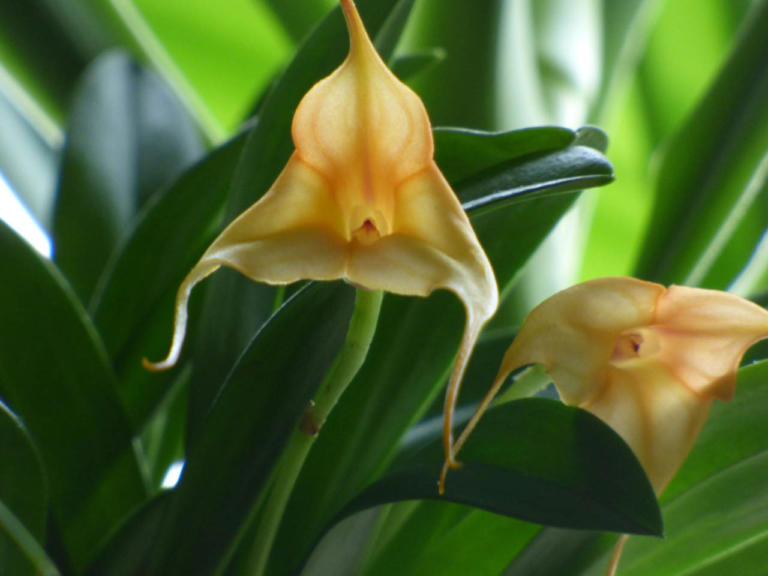 Masdevallia Hybride orange
