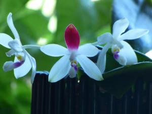 Phalaenopsis tetraspis C#1